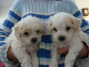 Two Adorable Tea Cup Maltese Puppies for adoption
