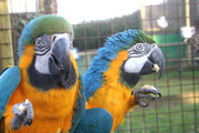 blue and gold macaw for sale at a peanut this xmas